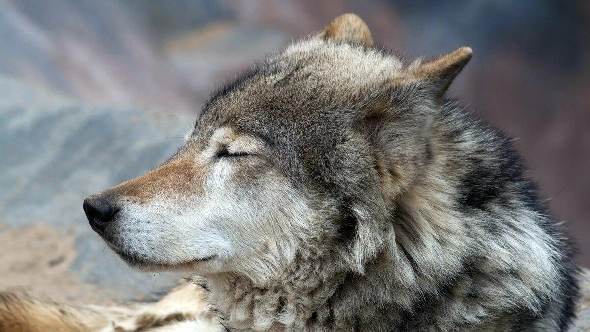 Волки фото картинки красивые