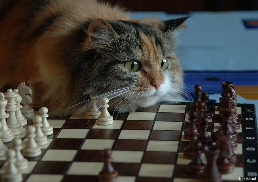 для шахматы картинки комичные шериф