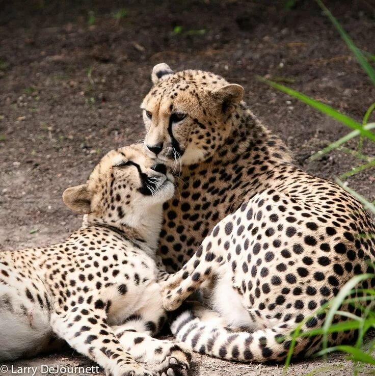 Картинки леопарды любовь, йоркширский терьер