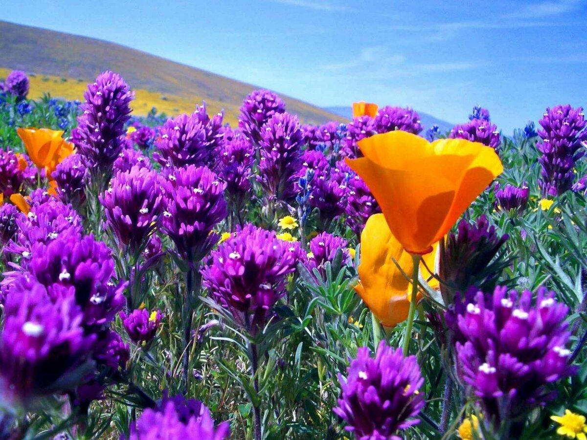 Картинки красивые полевые цветы