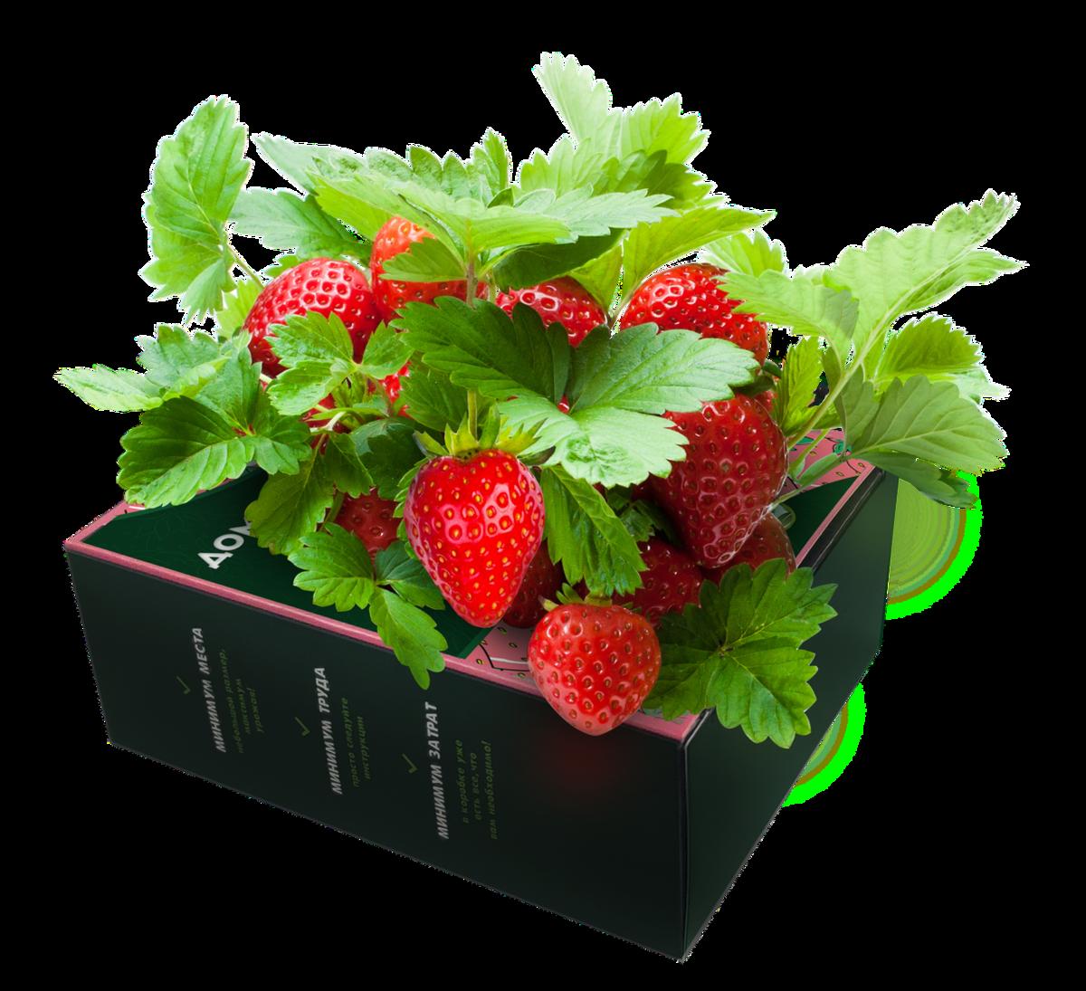 Домашняя ягодница клубника и земляника в Туркестане