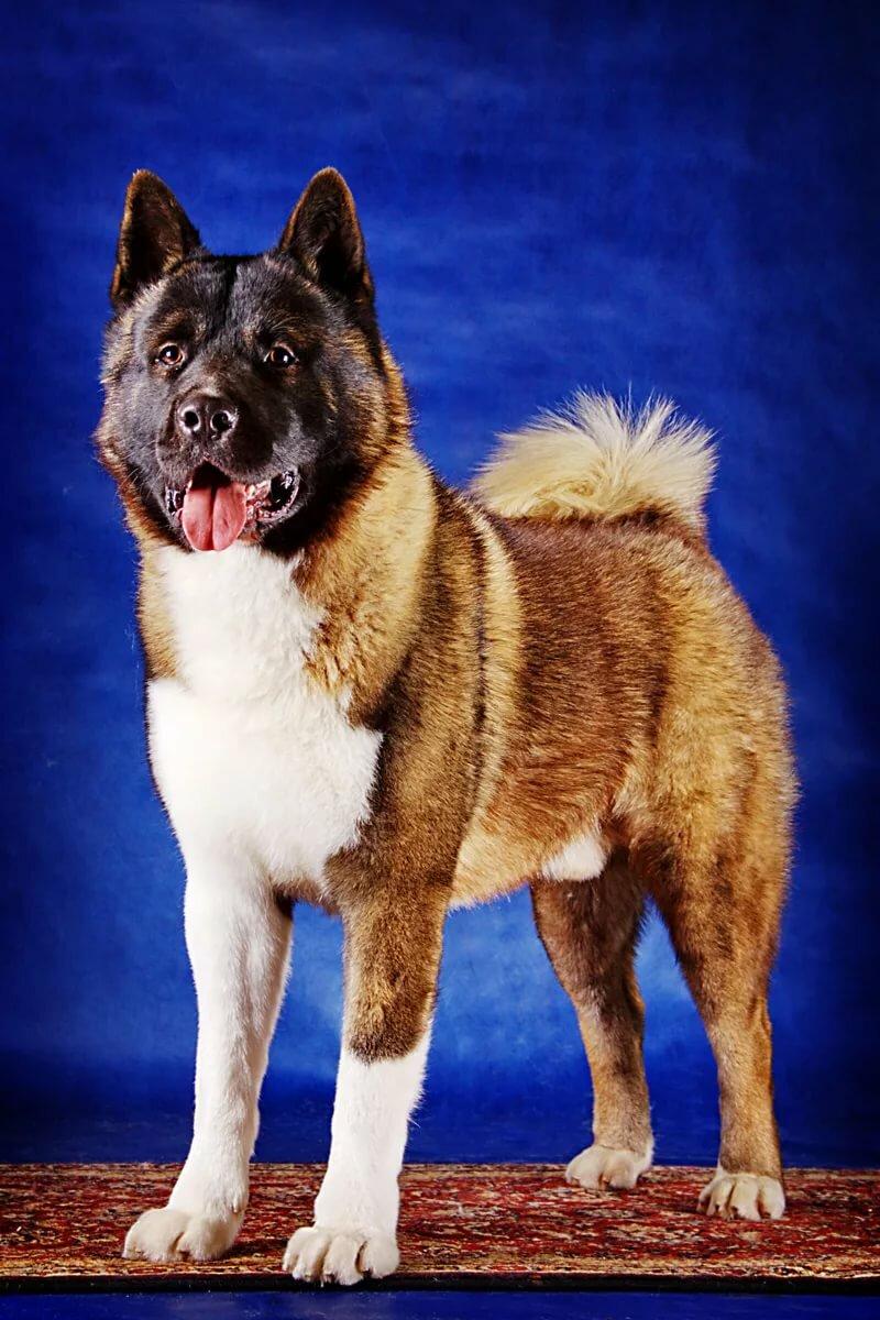 картинки собаки американская акита счастью, большинстве случаев