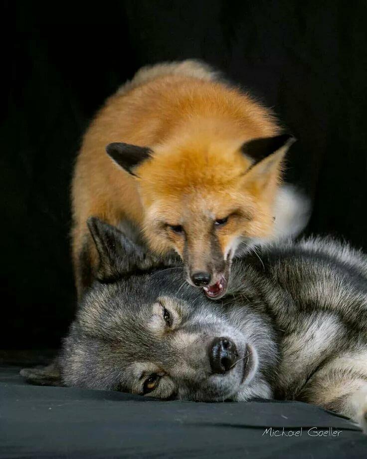 представляете, что реальные фото волков и лис посещении общественных бассейнов