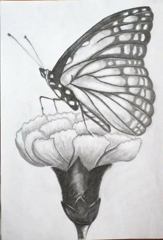 Картинки бабочка на цветке в карандаше, днем