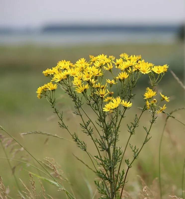 столик, название желтых полевых цветов с картинками научиться