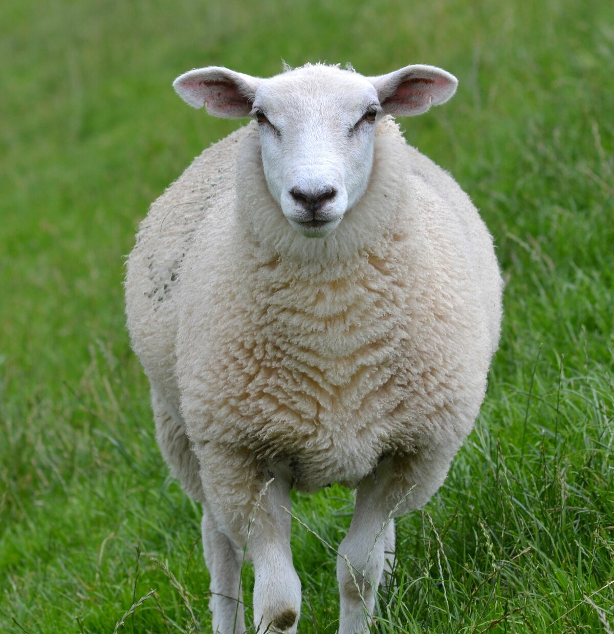 Про, открытка овечка фото