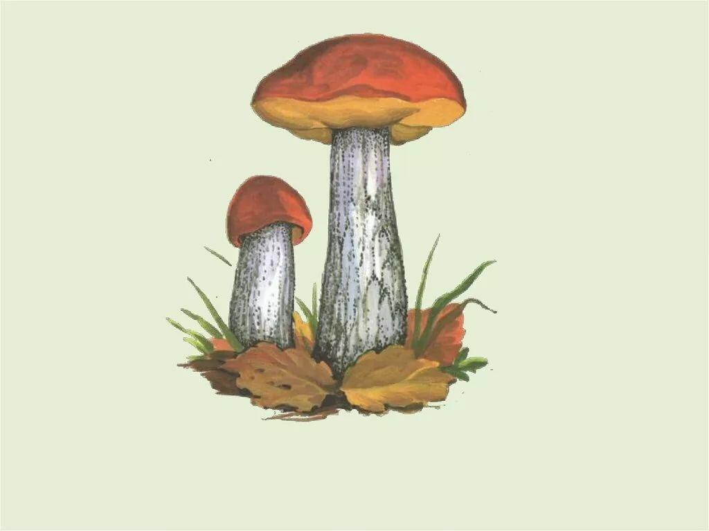 съедобные грибы рисунки утверждает, что все
