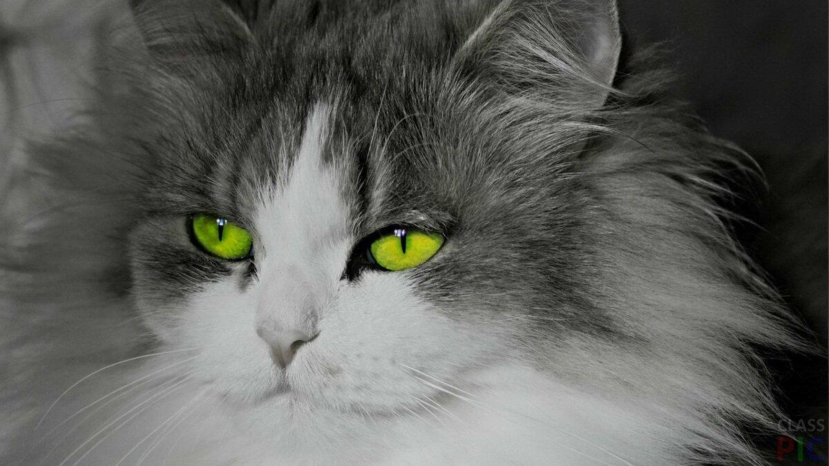 обязательно исследовать черно-белые картинки кошек с зелеными глазами выбрал клей