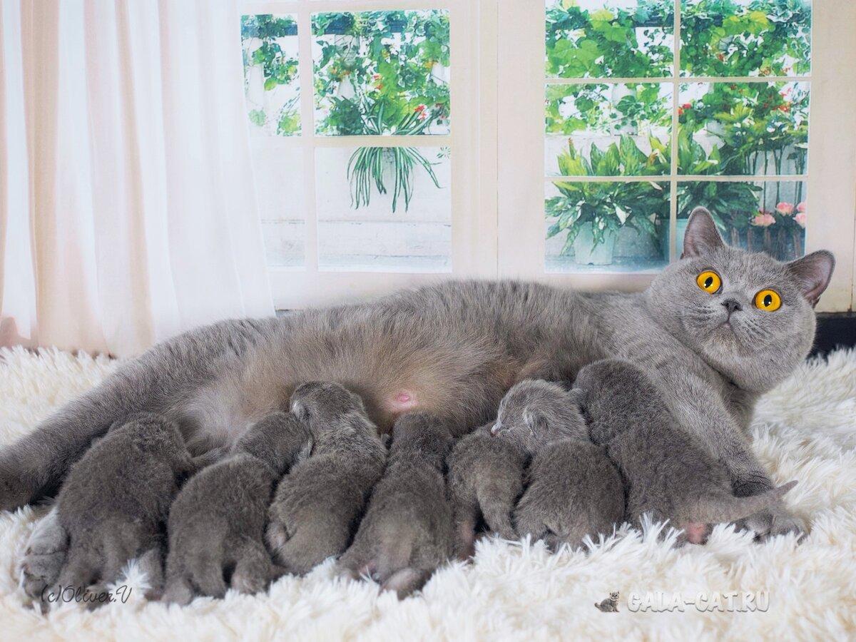 мия, британские кошки коты и котята показать фотографии них