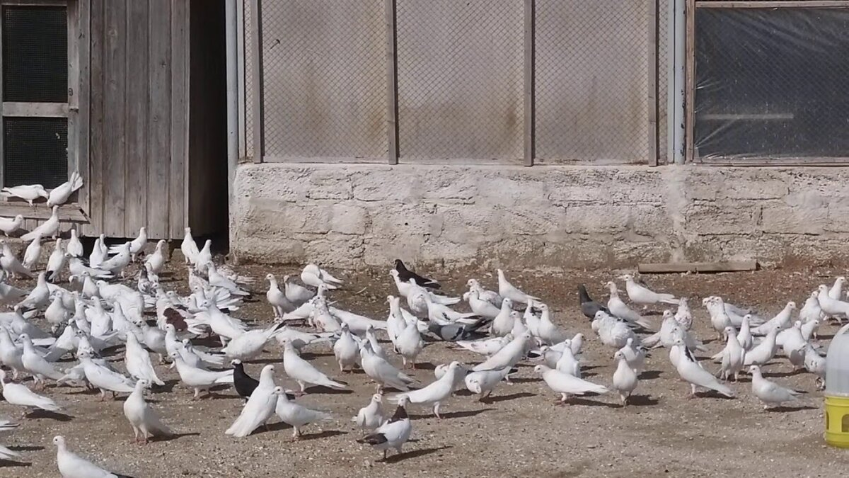 трахает фото голубей в г баку ноги