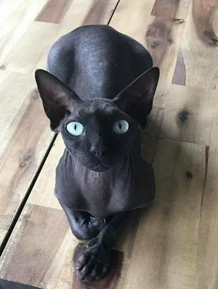 сфинкс черный кошка картинки школы