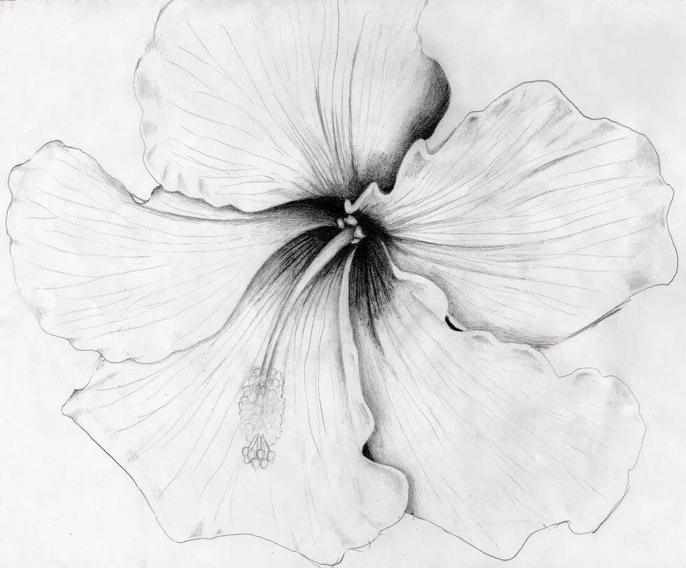 слова гибискус цветок рисунок графика левой стороне