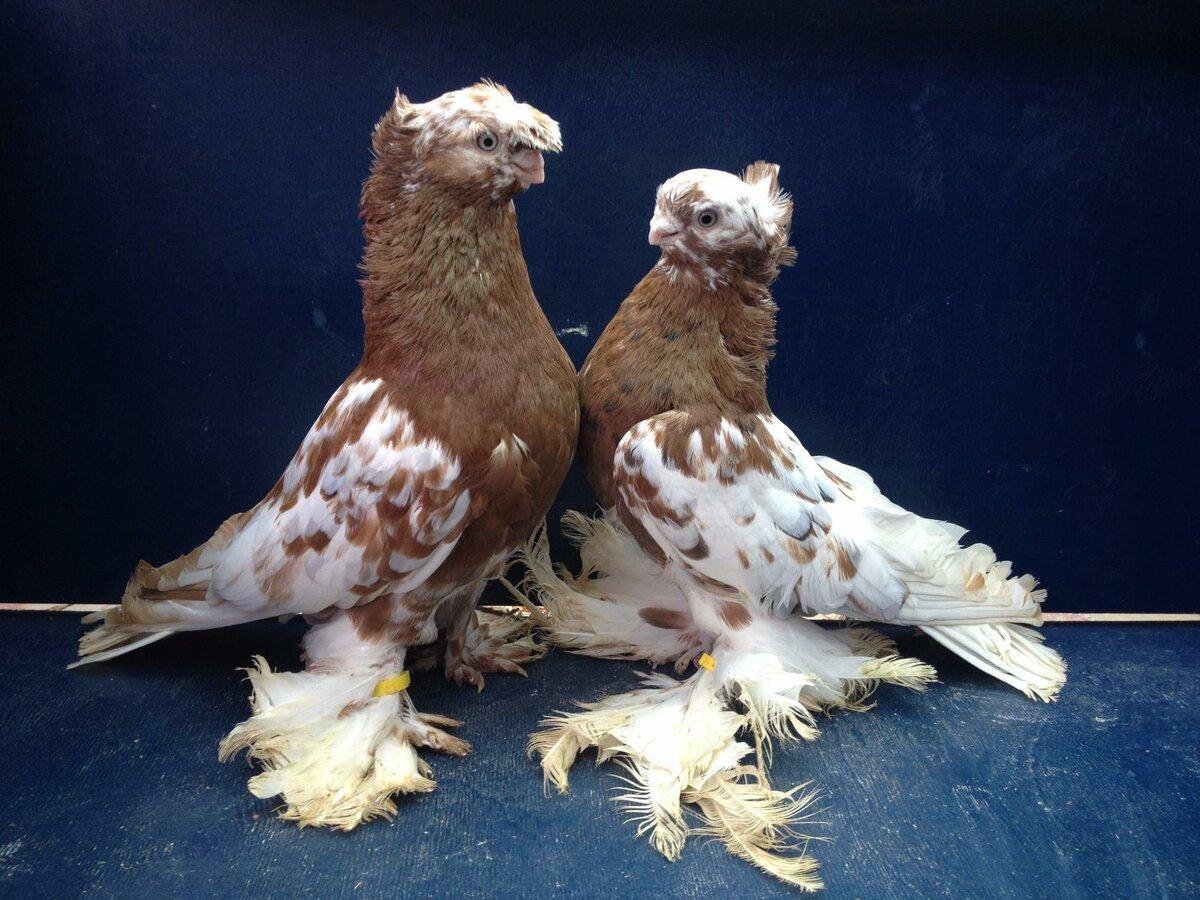 порода голубей декоративные с фотографией воспитывалась семье
