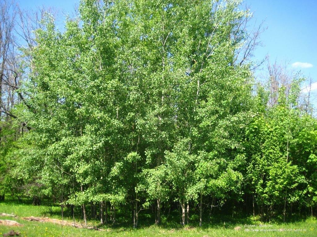 картинки осинового дерева онлайн