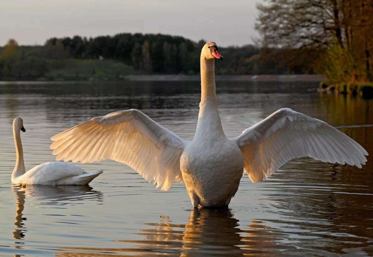 Лебеди картинки смотреть