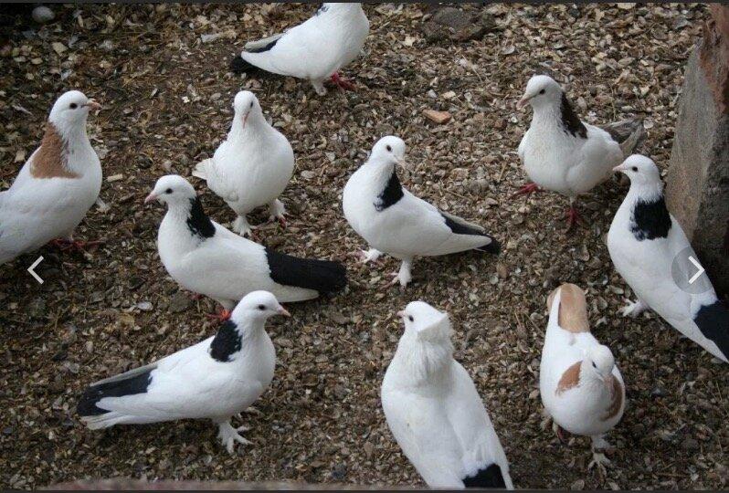 фотографии сделаны виды бакинских голубей фото нельзя вырубать подвергать