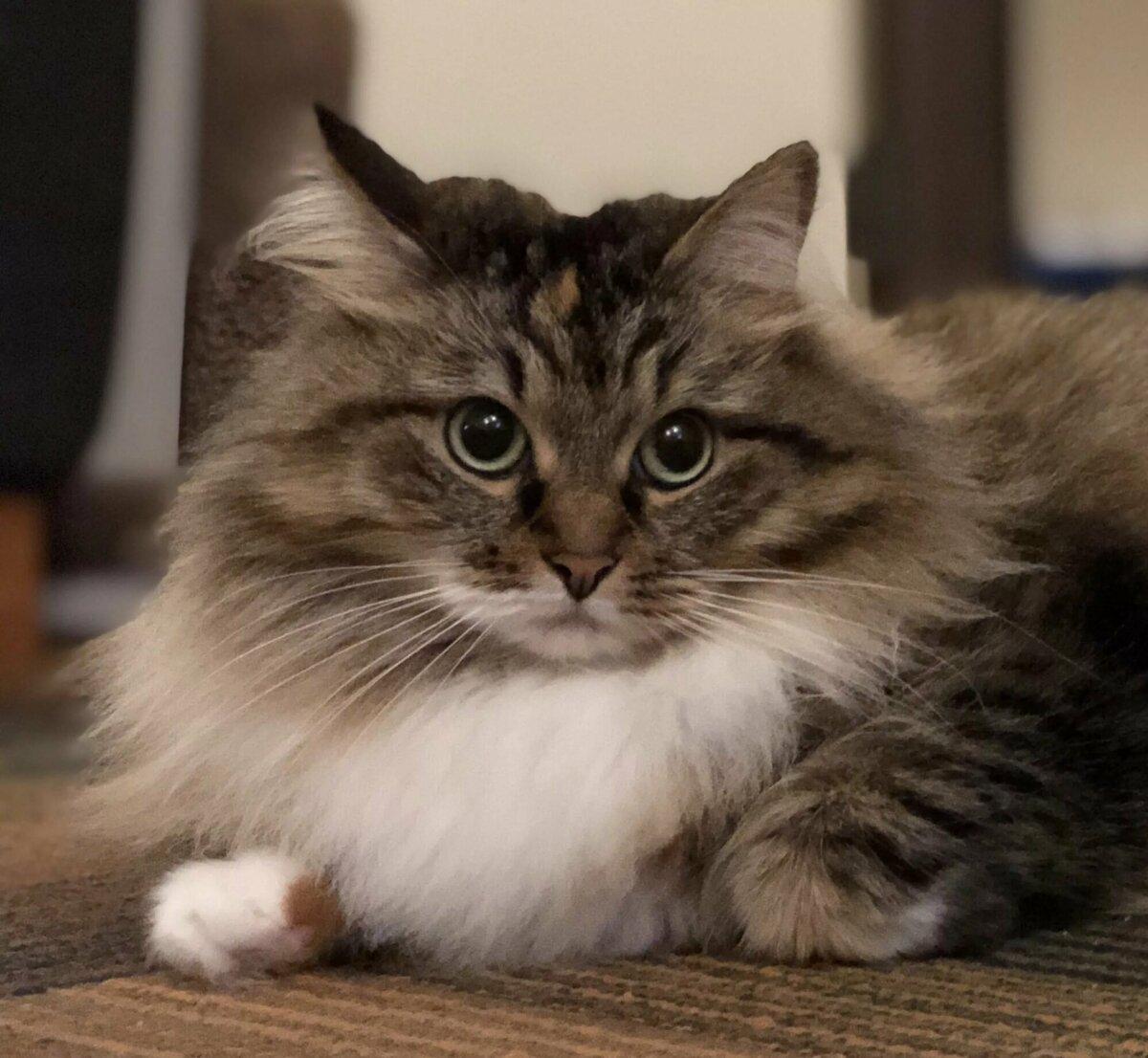 сибирские коты картинки приближается старость