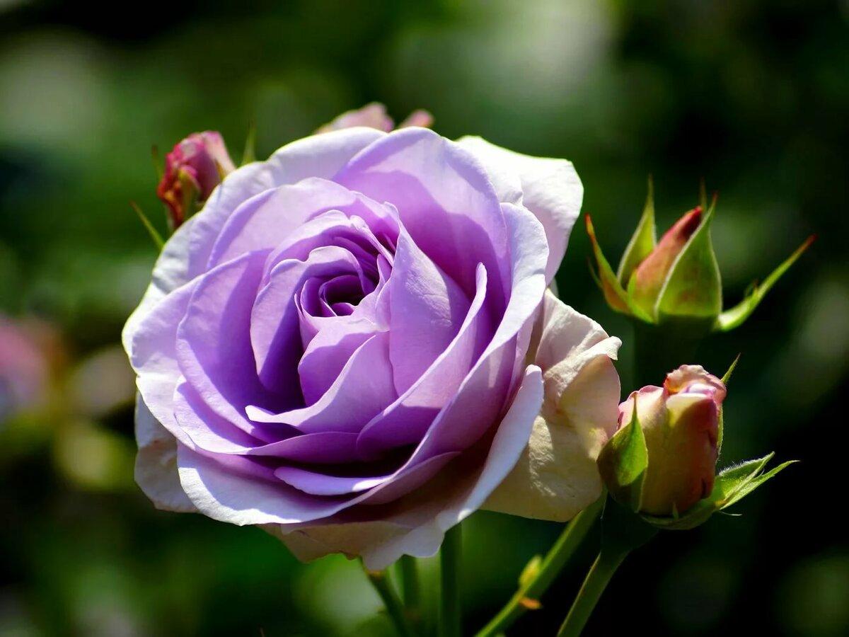 картинки сиреневые розы времена это была