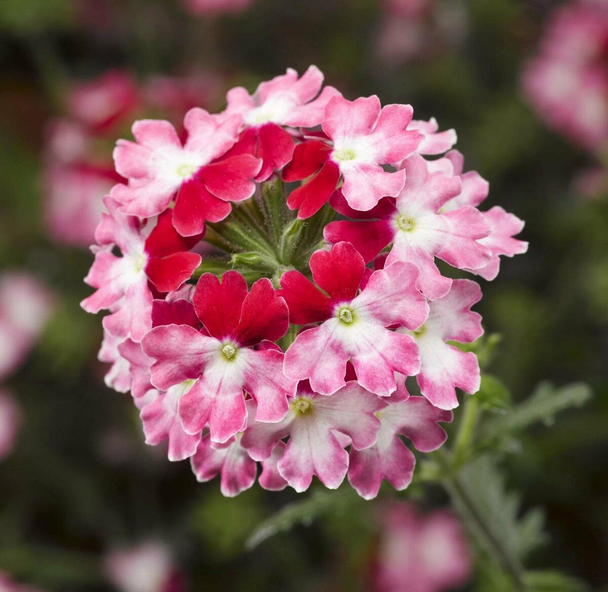 Вербена цветы картинка