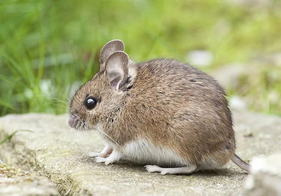 Поздравление, мышь картинки красивые