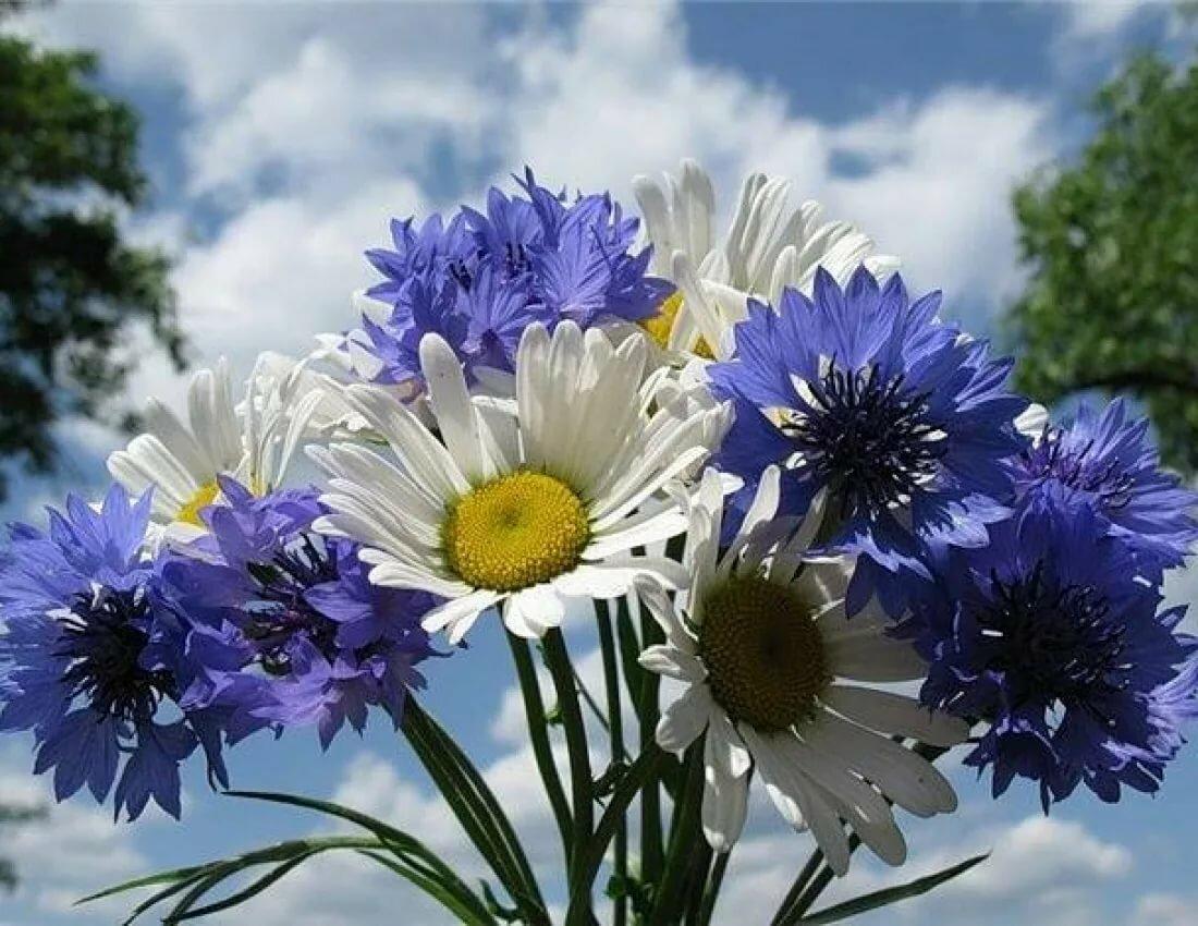 Гифы полевые цветы