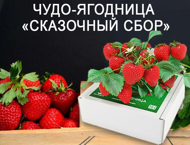 Чудо-ягодница Сказочный сбор в Смоленске