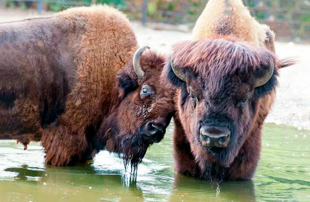 Бизон животное фото с человеком