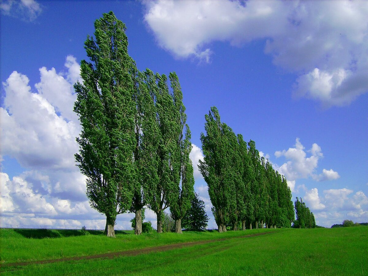 Тополь картинка дерева