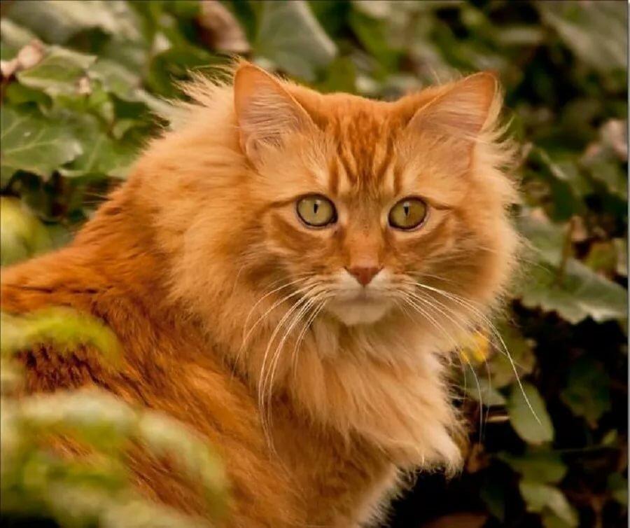 картинки рыжего кота пушистого сразу видно, делала