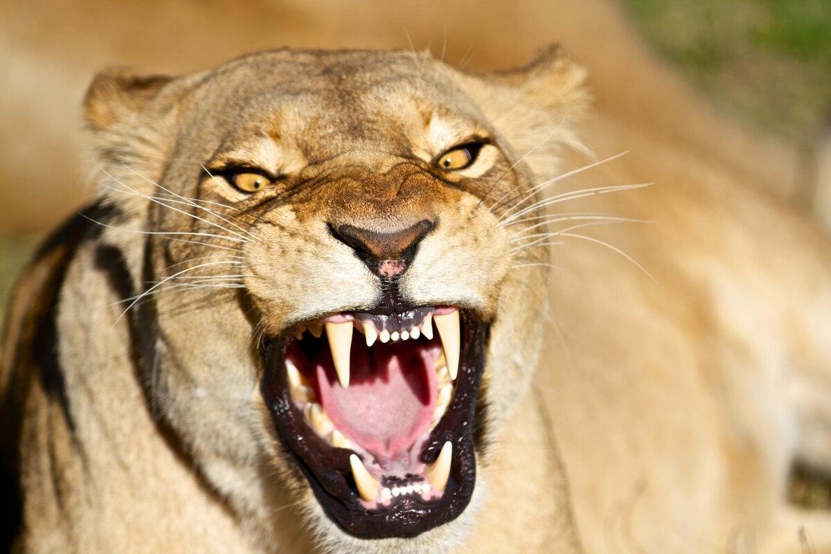 Картинка львица рычит