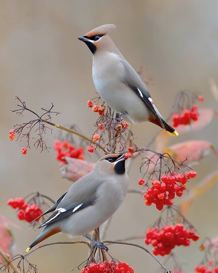 Свиристели на калине. Классика жанра! #птицы #пернатые #калина #свиристель #в_мире_животных #свиристель