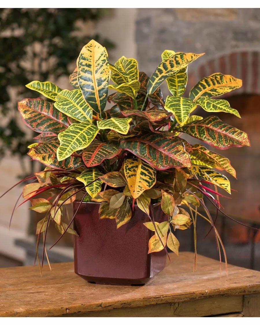 Картинки комнатных растений кротон