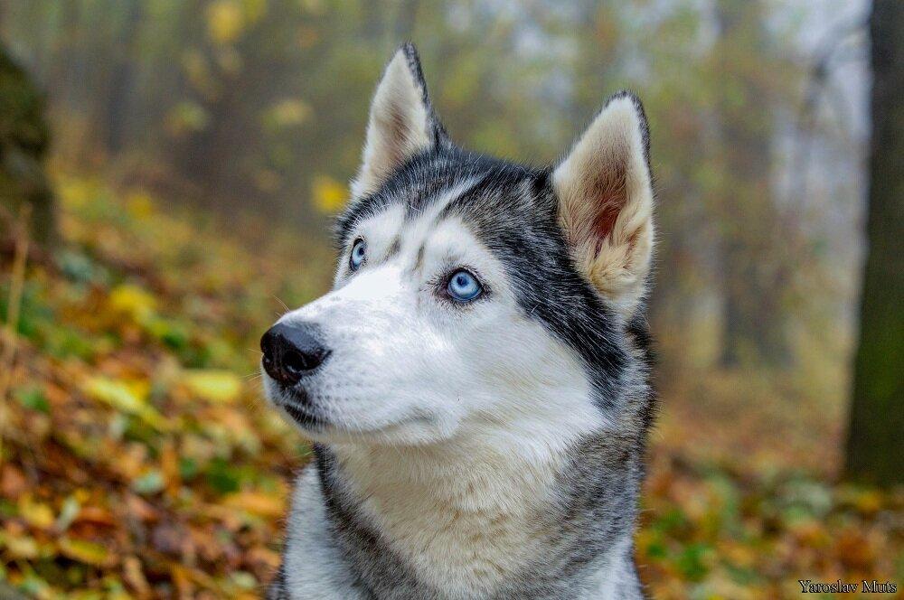 красивые картинок собак хаски видео