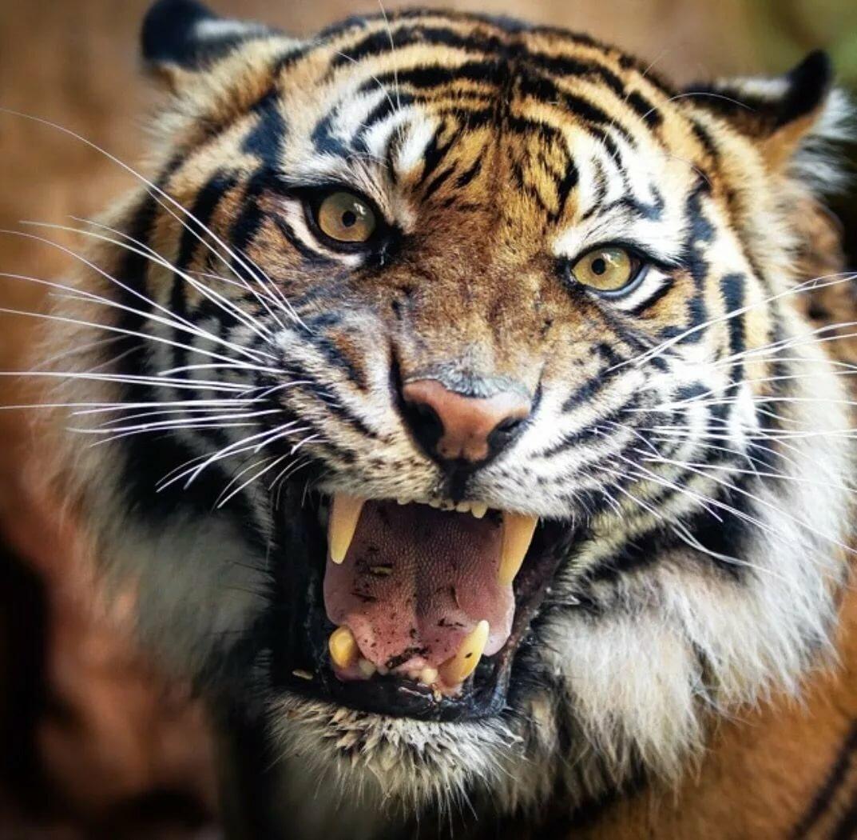 из-за картинки рычащих животных королевского