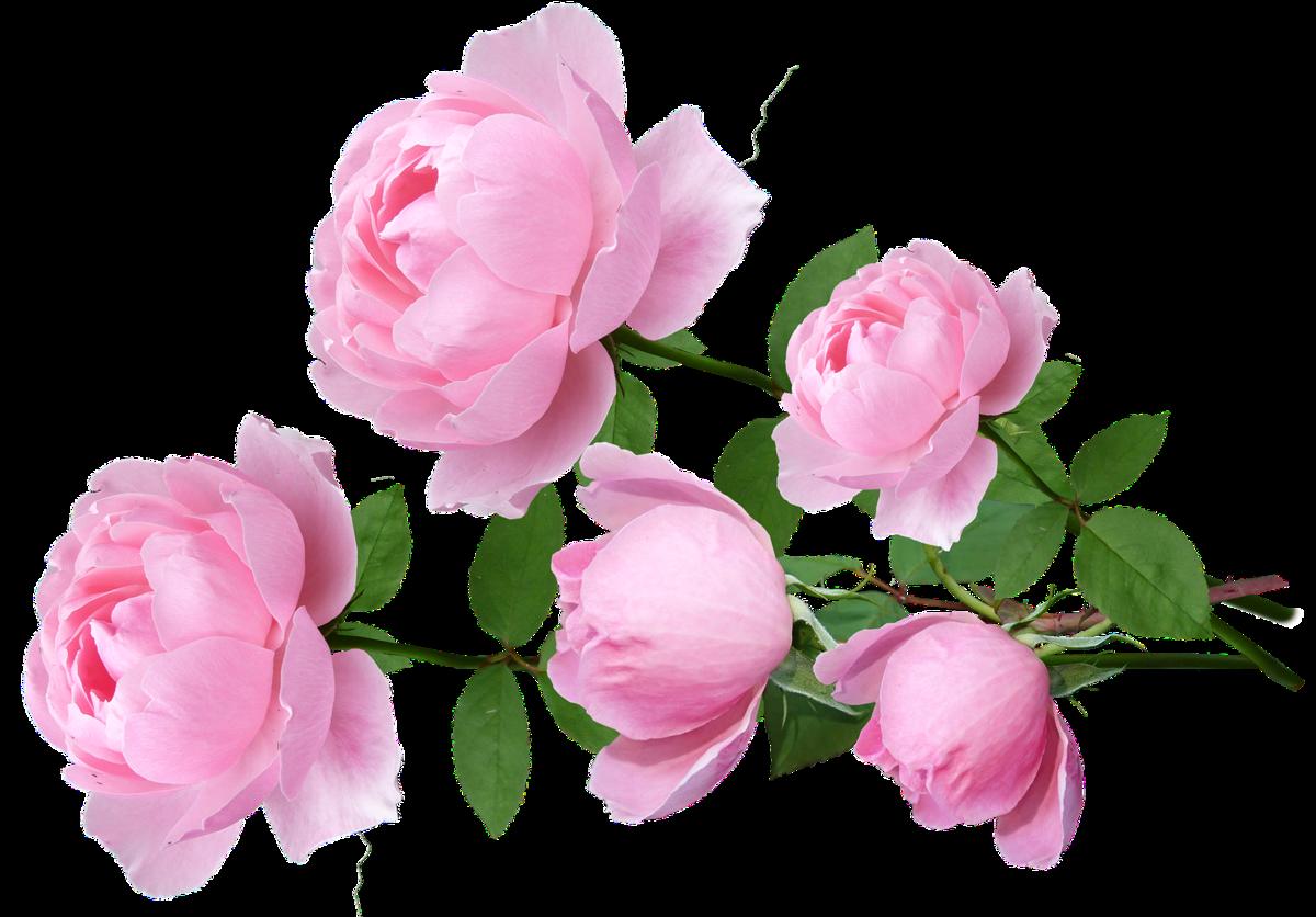 разные розовые розы фото на прозрачном фоне трактора чаще