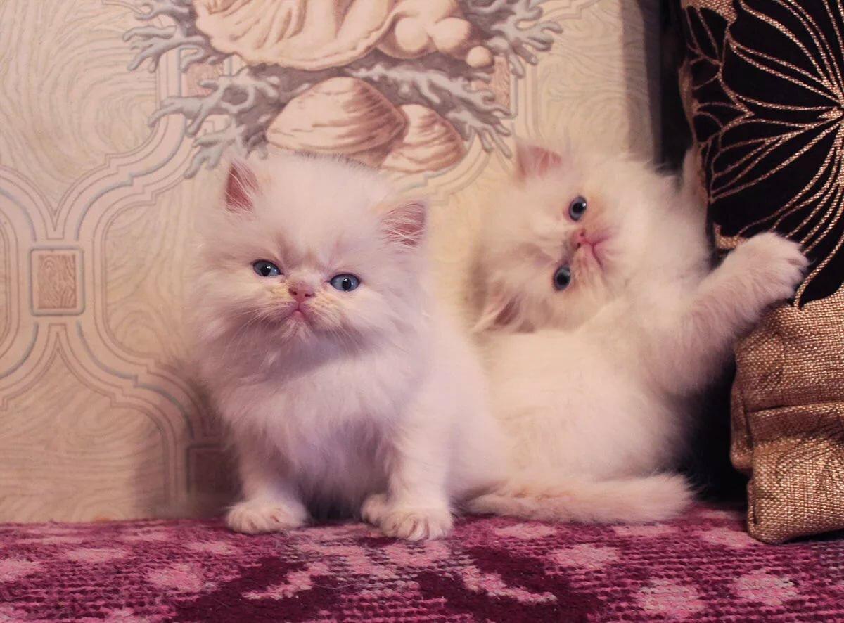 картинки маленький персидский котенок поглощать сухой сахар