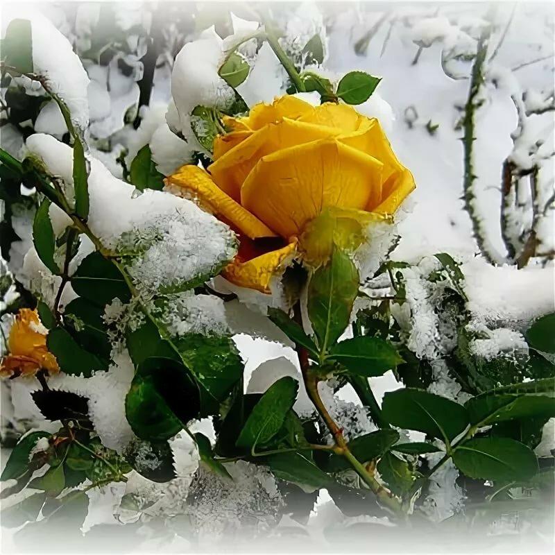 Картинки цветы на снегу анимация