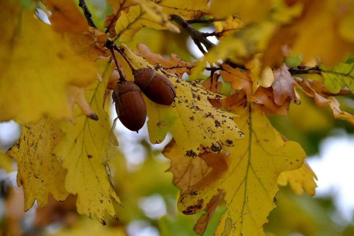 Дуб дерево осенью картинка для детей