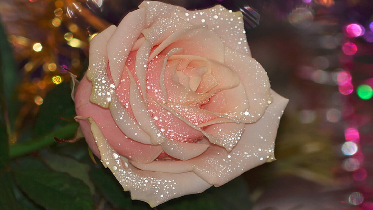 Роза блестящая картинки