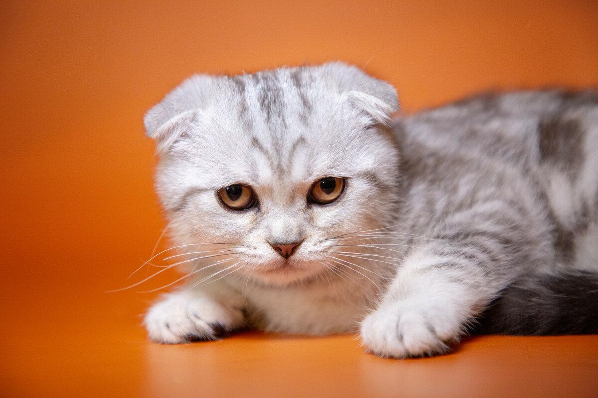 Кошка вислоушка картинки