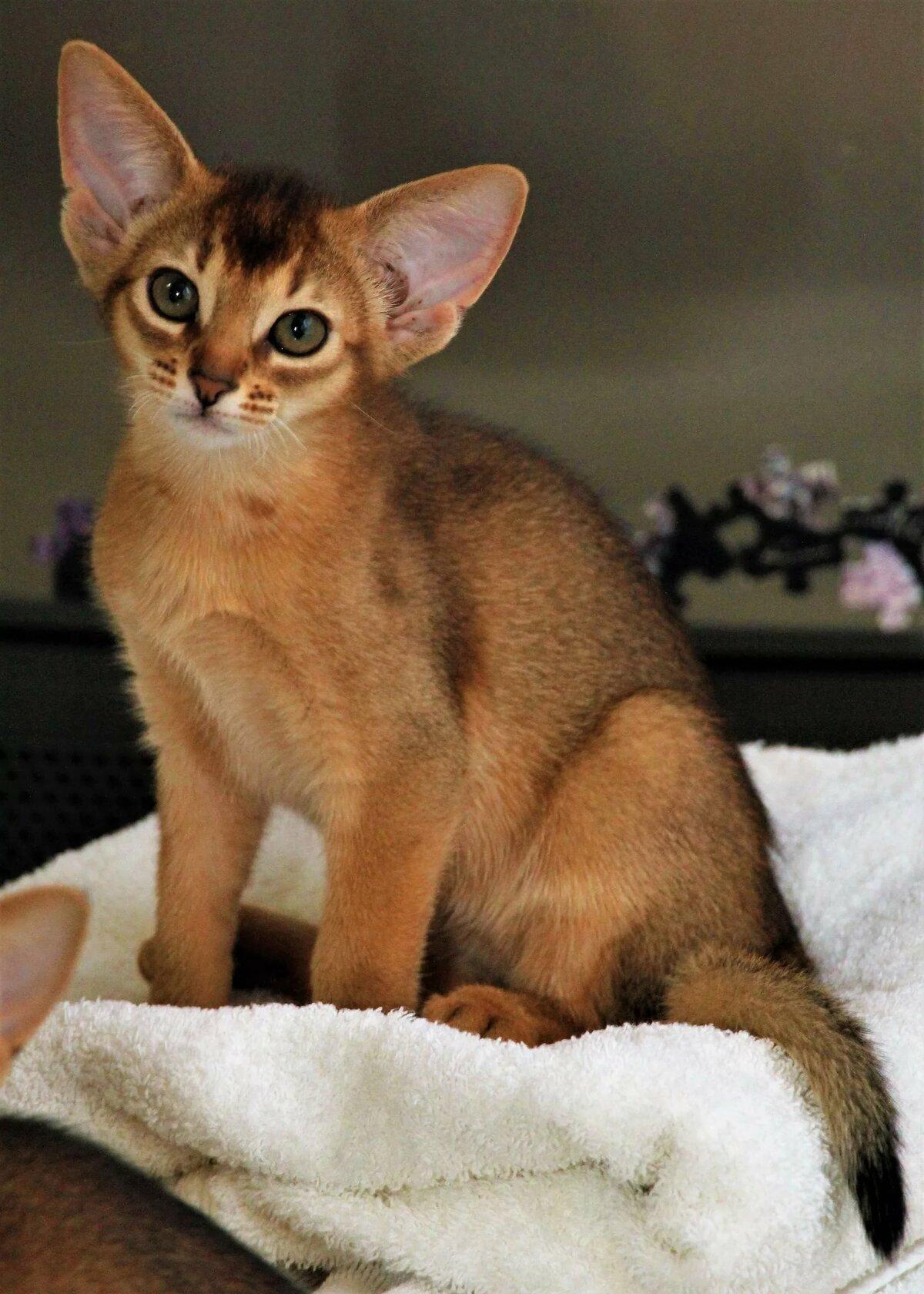 сайт абиссинские котята фото лиственный лес печатаются