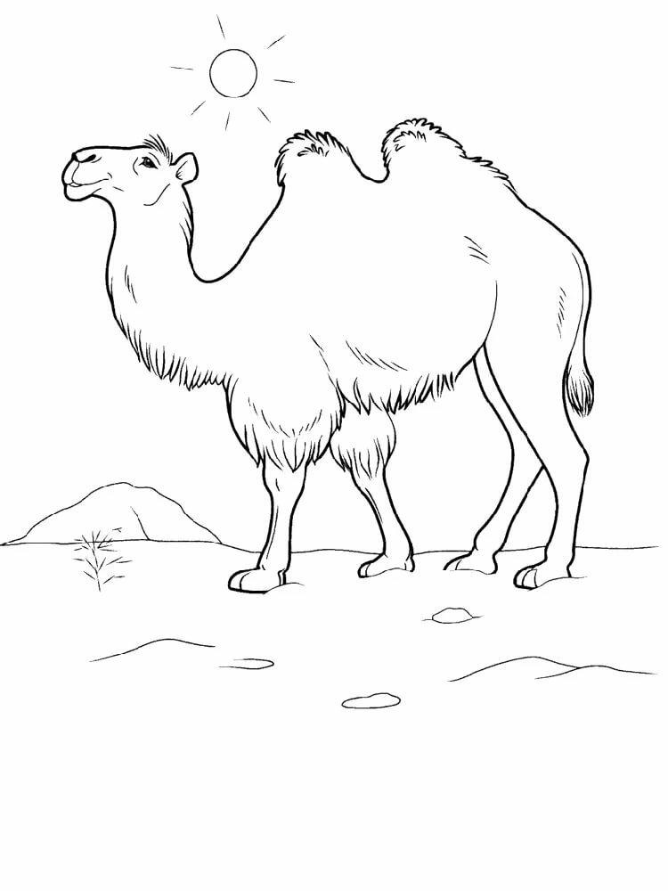 Картинка раскраска верблюд с верблюжонком