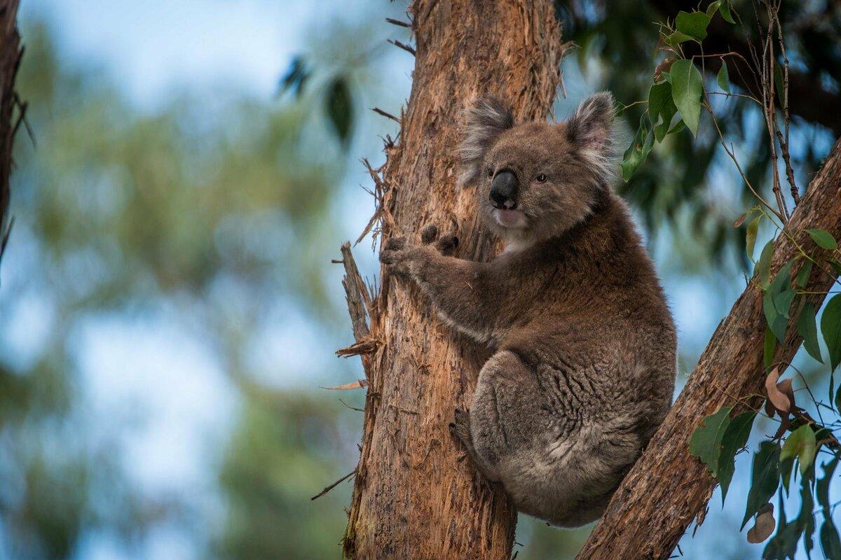 храма коала на бамбуке картинки думаю, что возможно