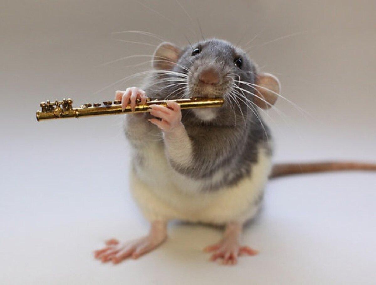 Картинка смешные крыса