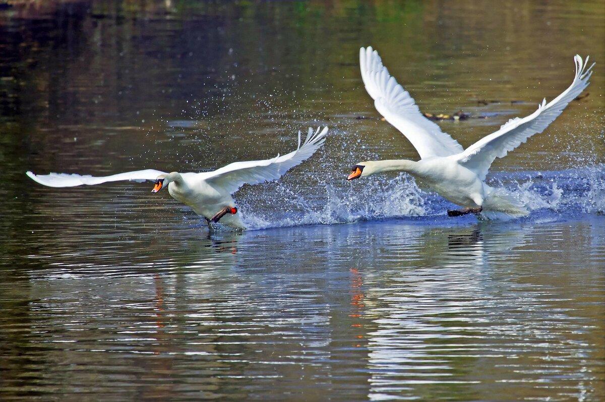 Лебеди улетали картинки