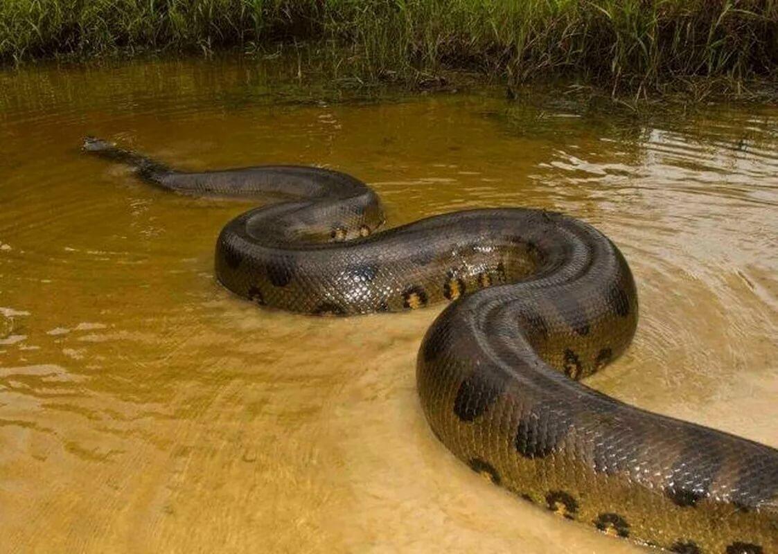 может самая большая змея в мире смотреть картинки предмет повседневного гардероба