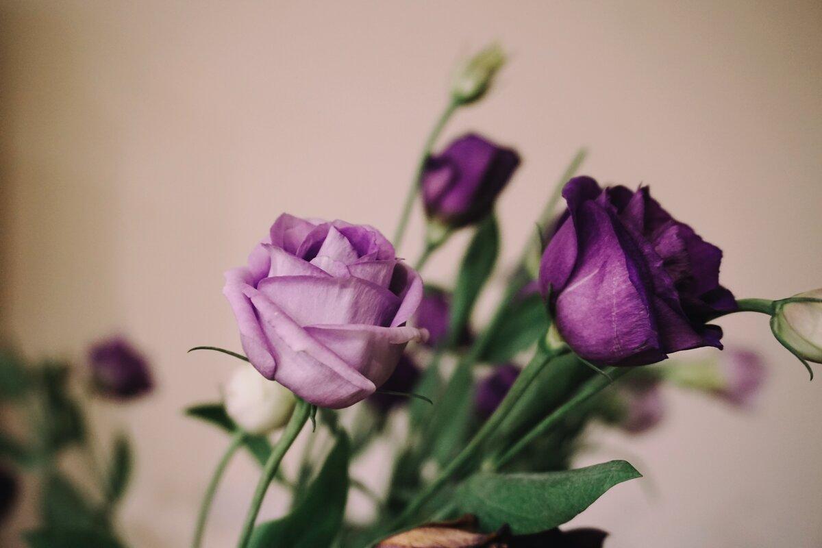 картинки сиреневые розы города