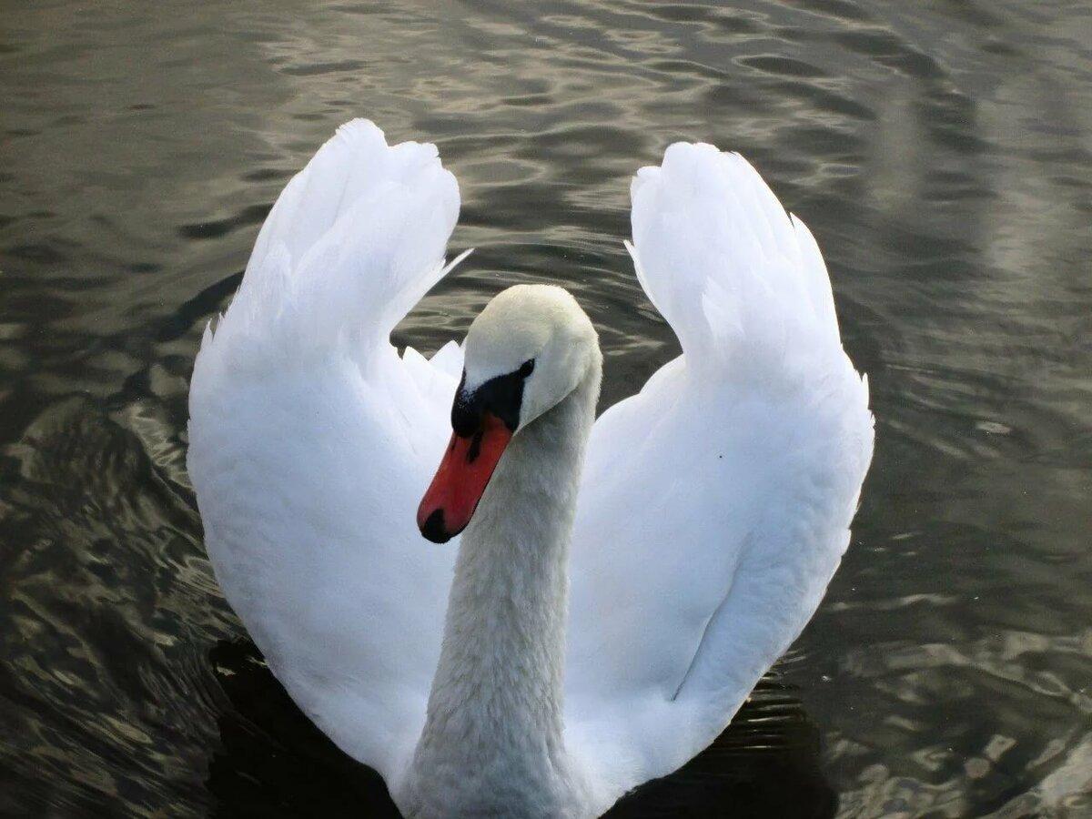 Картинки фото лебедя