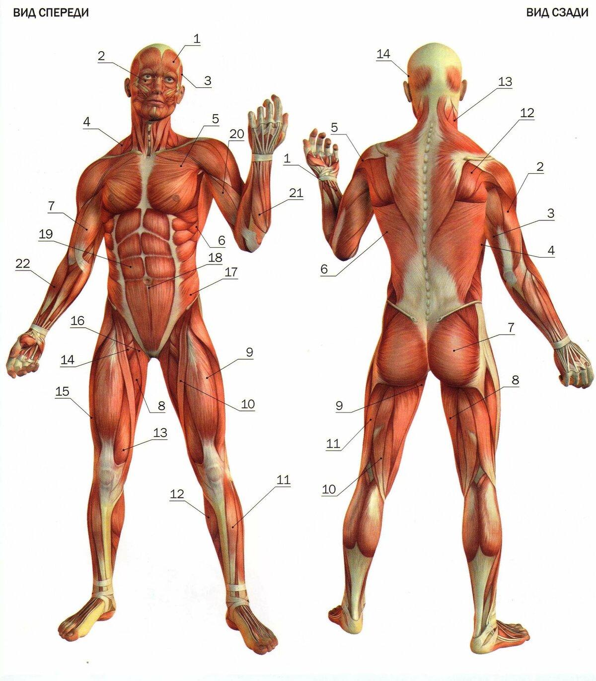 Анатомия картинки мышцы