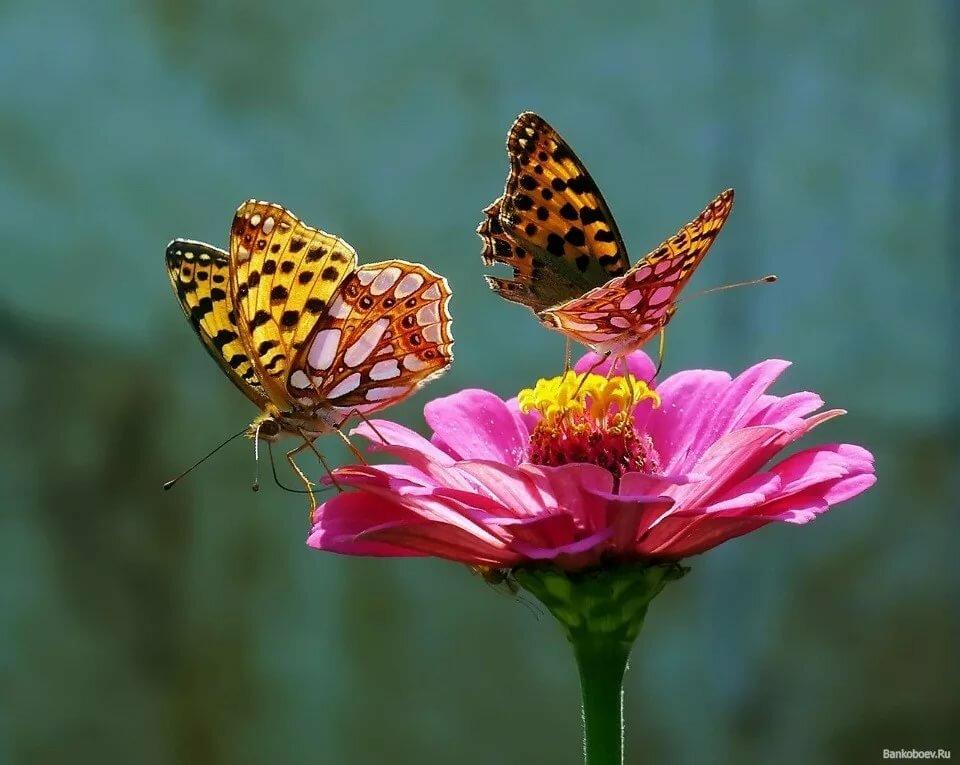 Две красивые бабочки картинки